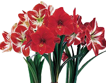 Amaryllis also known as Hippeastrum