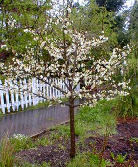 Fruit Tree in Spring